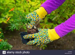 flowers in garden images gardening planting flowers woman holding flower plants to plant
