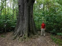 White Oak Tree Bark Quercus Pagoda Wikipedia
