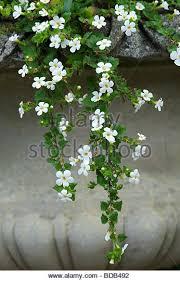 Snowflake Flower - water snowflake stock photos u0026 water snowflake stock images alamy