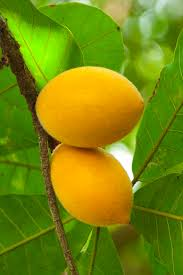 native brazilian plants 1905 best fruit trees and plants images on pinterest fruit trees