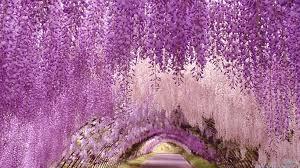 wisteria 03 jpg
