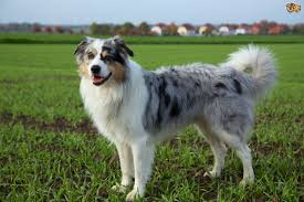 australian shepherd 4 months size australian shepherd dog breed information buying advice photos