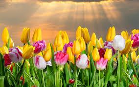 Flower Wallpaper Color Tulips Flowers Wallpaper Hd Download For Desktop