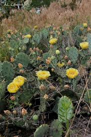 native plants of ohio the buckeye botanist ohio u0027s native cactus eastern prickly pear