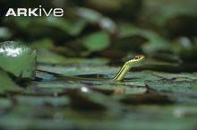 western ribbon western ribbon snake photo thamnophis proximus g110180 arkive