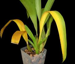 yellow orchid yellowing orchid leaves orchid care