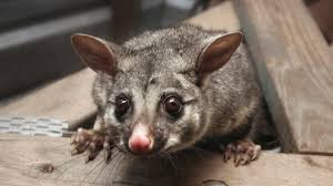 the pros and cons of possums in your roof lifehacker australia