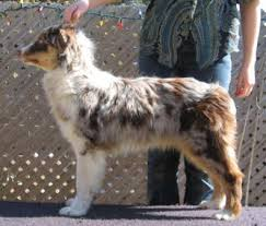 australian shepherd vocal about