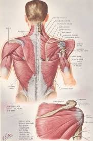 Full Body Muscle Anatomy 29 Best Fascia Blasting Images On Pinterest Massage Therapy