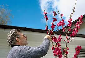 when to prune tree care tips techniques at arborday org