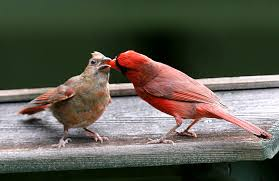are our cardinals more uptight startribune com