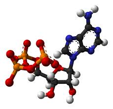 adenosine triphosphate wikipedia