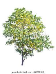 Yellow Flowering Trees - green apple tree small fruits isolated stock photo 191148344