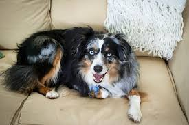 australian shepherd kid friendly are australian shepherds protective dog care the daily puppy