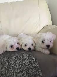 pomeranian x bichon frise sale stunning fluffy small maltese x bichon frise puppies last ones