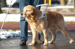 How Does A Guide Dog Help A Blind Person Guide Dog Is Helping A Blind Man Stock Photo Image 29190810