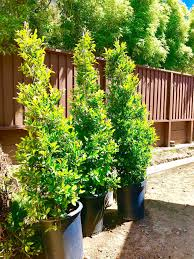 hedging plants budget wholesale nursery front garden update kristywicks com