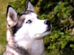 my free wallpapers nature wallpaper husky