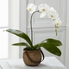 orchid plant illinois florist fabbrinis flowers ftd c29 4882 phalaenopsis