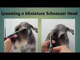 schnauzer hair styles grooming a pet miniature schnauzers head youtube