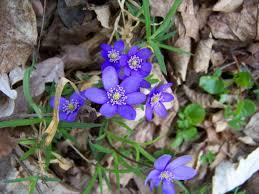 Modre by File Dolní Břežany Hradiště Modré Květiny Jpg Wikimedia Commons