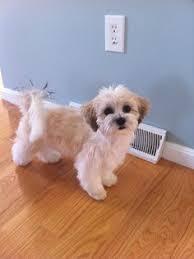 shichons haircut teddybeardog zuchon shichon this is bodhi adorable puppies