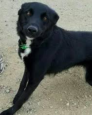belgian sheepdog border collie mix view ad border collie german shepherd dog mix dog for adoption