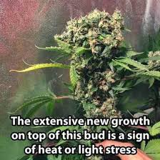 best light for weed seedlings rootbound cannabis symptoms how to tell if a