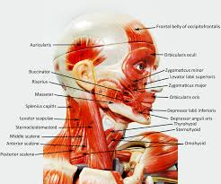 Human Belly Anatomy Male Muscle Figure Labeled Human Anatomy Web Site