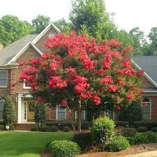 ornamental trees for landscaping crape myrtle ornamental trees