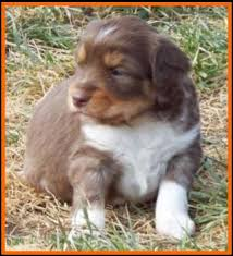 miniature australian shepherd 6 weeks litter 2 hip pup 1 blue eyed red tri mini aussie male carries the