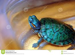 hobby pet turtle stock photography image 29329392