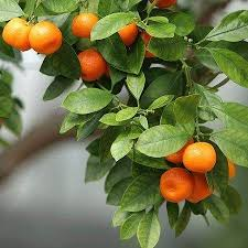 best 25 satsuma tree ideas on kumquat tree images