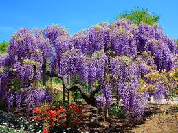 wisteria sinensis australian bush flower wisteria tree related keywords u0026 suggestions wisteria tree long