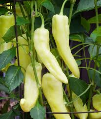 Plants That Don T Need Natural Light by Sweet Banana Pepper Sweet Mild High Yield