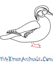 draw wood duck