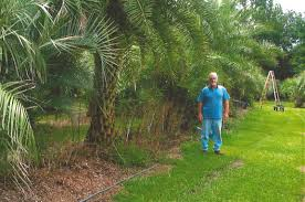 sylvester palm tree sale palm trees for sale panama city fl comet palm farm