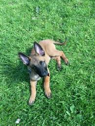 belgian shepherd gumtree pedigree belgian malnois puppy for sale in bradford west