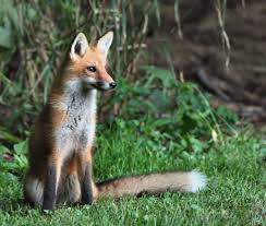 Delaware wildlife images How to deal with problem fox in delaware jpg