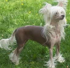 chinese crested puppies funny puppy u0026 dog pictures