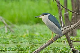 black crowned night heron our long time neighbors city wildlife