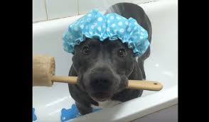this pit bull has the most hilarious bath time routine video this pit bull has the most hilarious bath time routine video one green planet