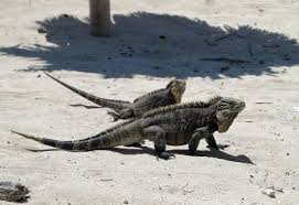 iguana island getting attacked by iguanas in cuba double barrelled travel
