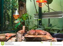 big iguana lizard in terrarium royalty free stock photo image
