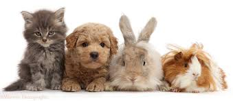 pets grey kitten goldendoodle puppy bunny and guinea pig photo