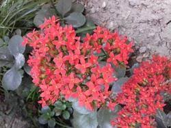 ornamental plants in kolkata west bengal suppliers dealers