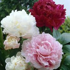 wholesale peonies wholesale peonies peony flowers for diy weddings