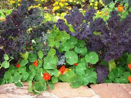 vegetable garden with nasturtium ornamental companions for
