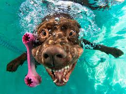 dogs diving for toys under water