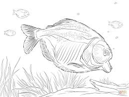 red bellied piranha coloring page free printable coloring pages